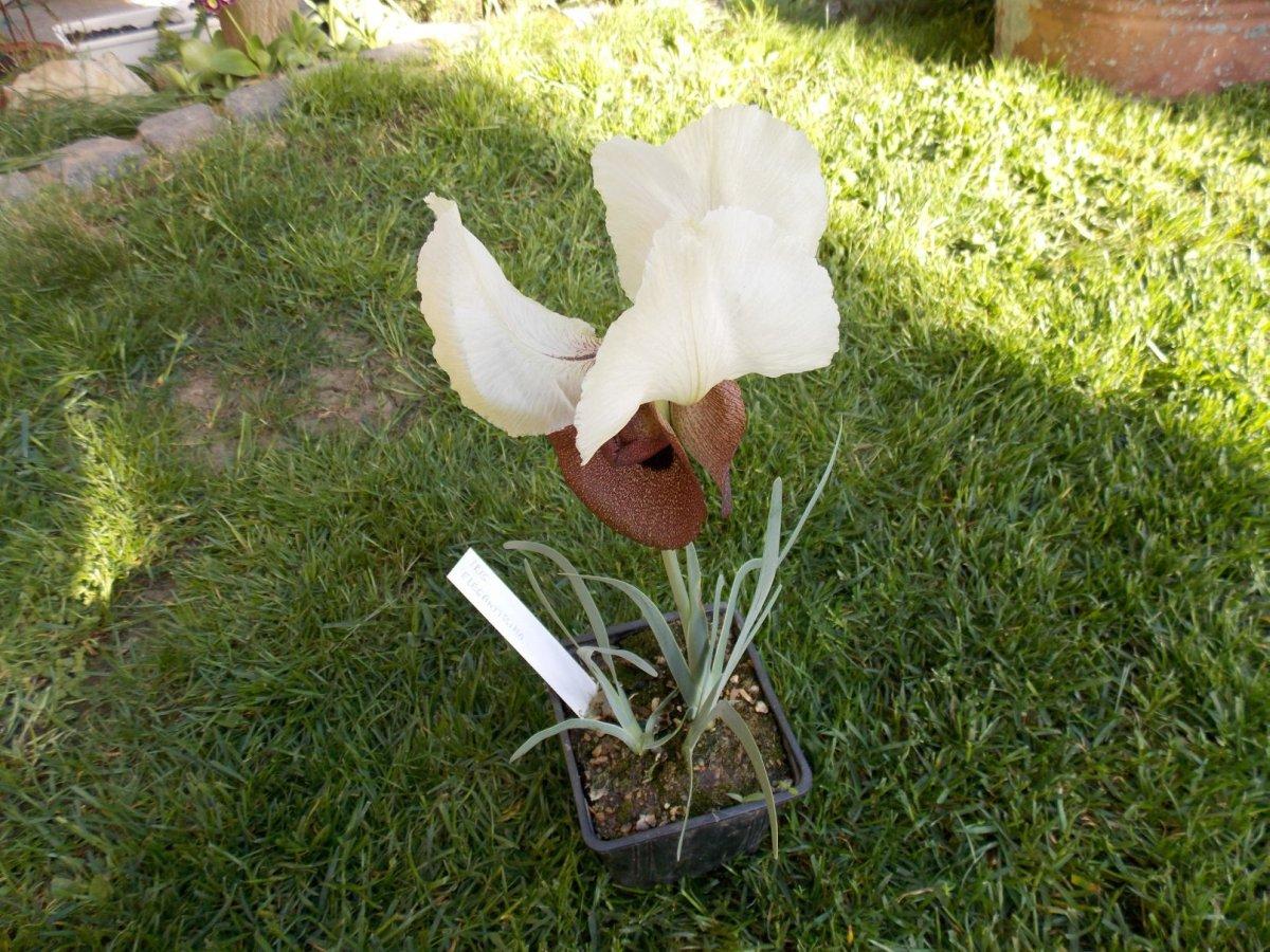 Iris elegantisima1
