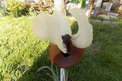 Iris elegantisima2