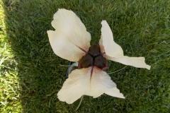 Iris elegantisima3