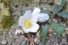 Čemeřice černá (Helleborus niger)-1