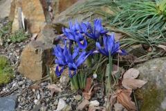 Iris reticulata_5