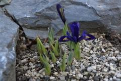 Iris reticulata_6+