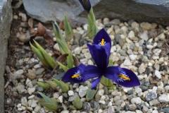Iris reticulata_7